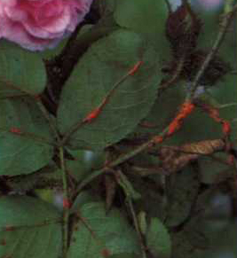Combattere malattie ed insetti la compagnia delle rose for Ruggine delle rose