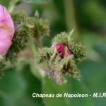 10_4chapeau_de_napoleon_bocciolo