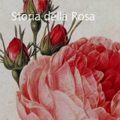 Storia della Rosa