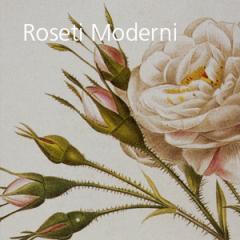 Roseti moderni